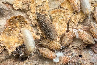 Cixidia sp. (Achilidae)