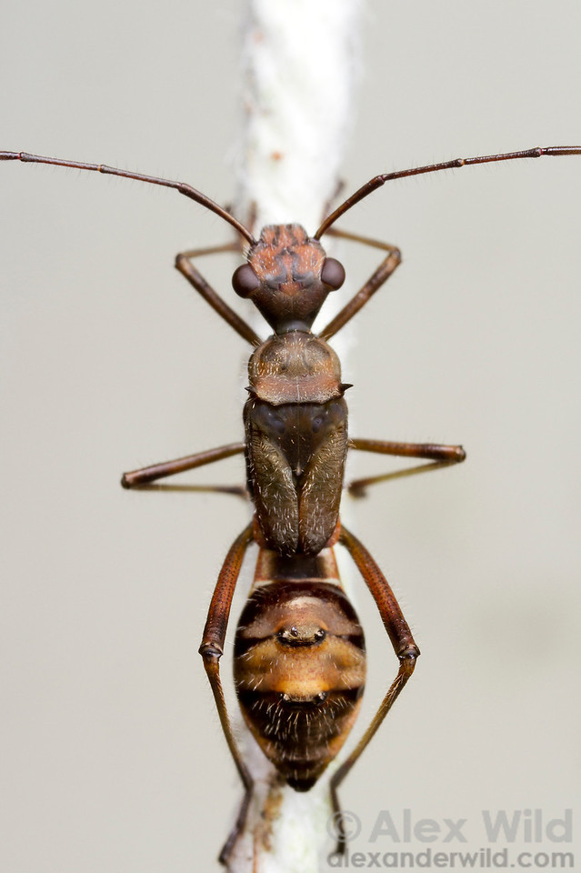 This alydid bug is a mimic of the ant Camponotus sericeiventris. Notice how the light bands on the waist provide the illusion of a narrow ant petiole.  Morretes, Paraná, Brazil