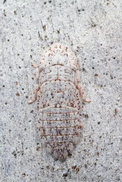 A leafhopper (Cicadellidae: Ledrinae) is perfectly colored for camouflage against Eucalyptus bark.  Harrietville, Victoria, Australia