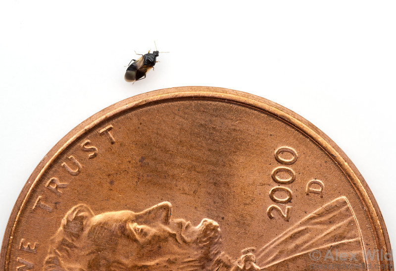 Minute pirate bugs (Anthocoridae) are common insects, but their small size means they often go unnoticed.  Urbana, Illinois, USA