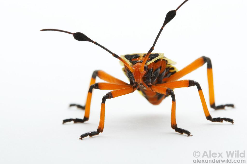 Thasus acutangulus nymph.  Mexico.  filename: Thasus40