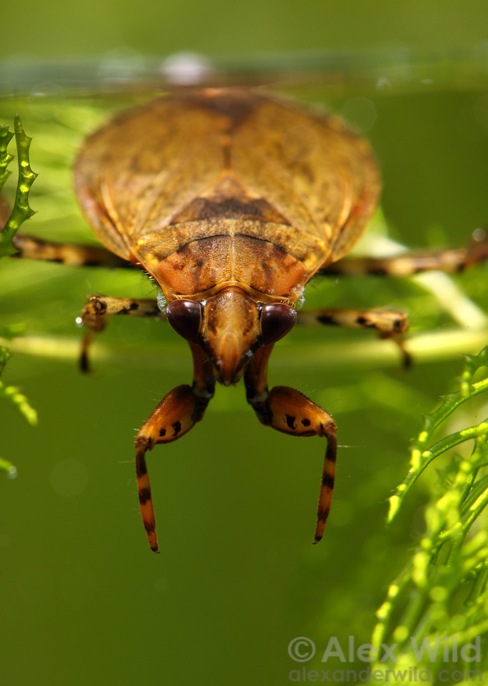 Belostoma sp. giant water bug.  Lake Glendale, Illinois, USA