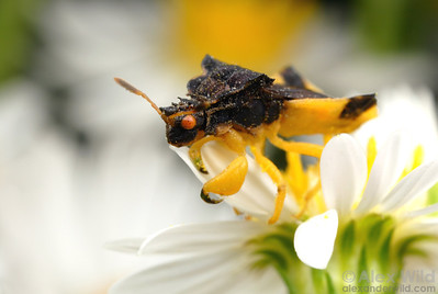 Phymata ambush bugs are sit and wait predators.    Champaign, Illinois, USA