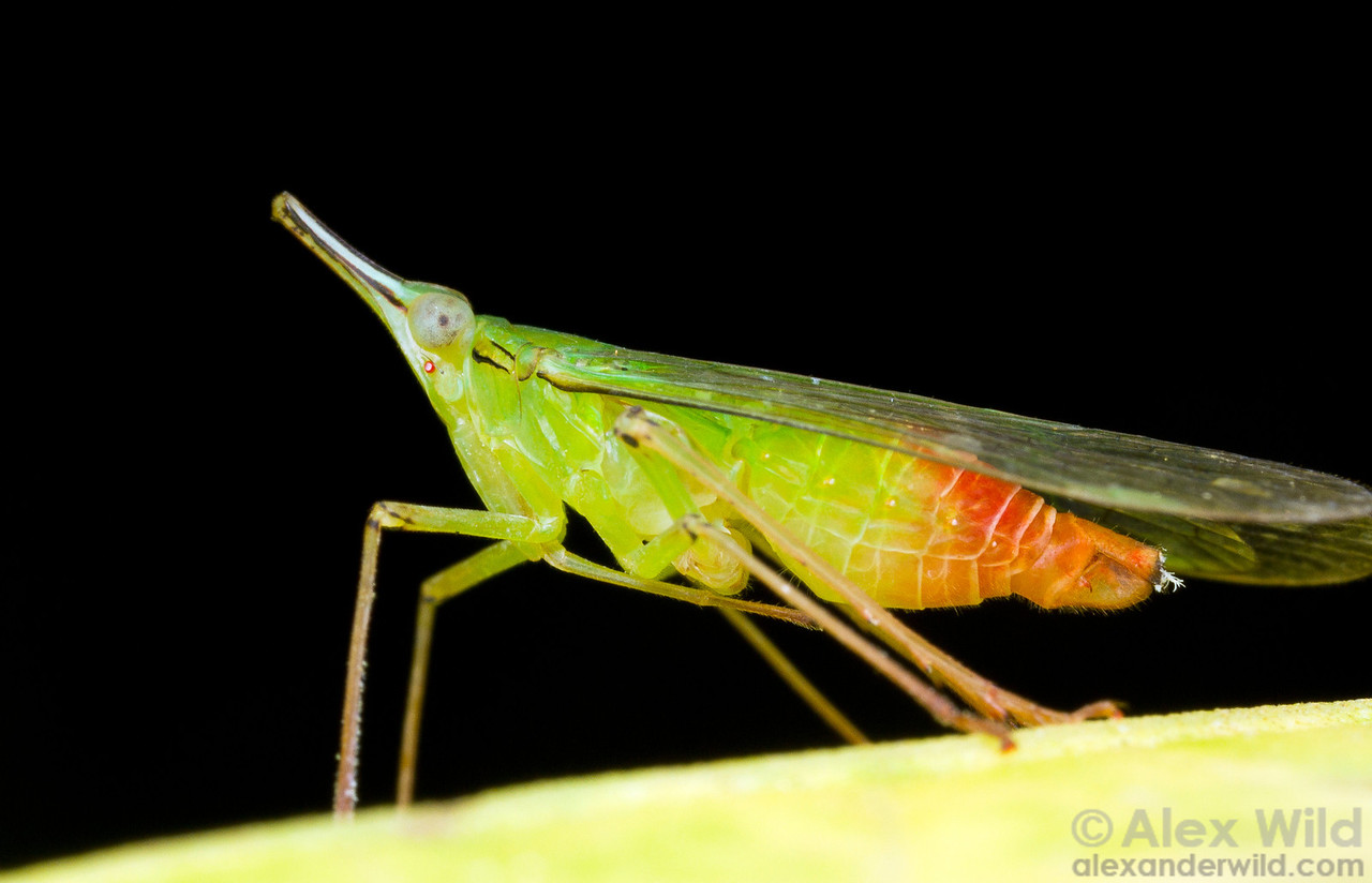 Planthoppers in the family Dictyopharidae often have characteristic snouts.  Icononzo, Tolima, Colombia