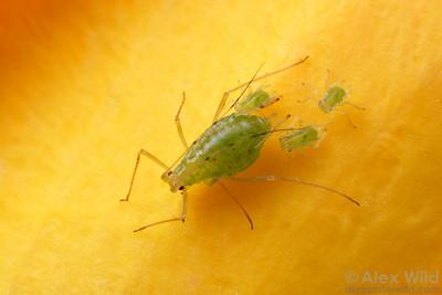 Macrosiphum rosae - rose aphids.  filename: Macrosiphum3