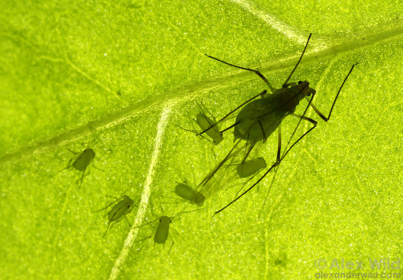 Sitobion avenae - English grain aphid