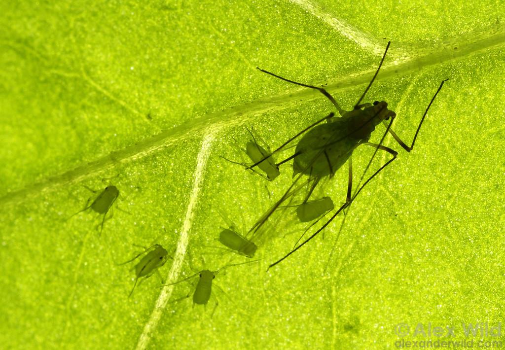Sitobion avenae - English grain aphid