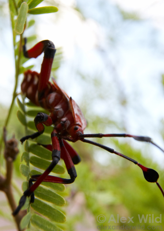 Thasus neocalifornicus Giant Mesquite Bug, nymph. Arizona, USA.  filename: thasus4