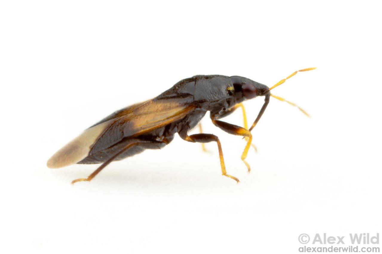 A minute pirate bug (Anthocoridae).  Urbana, Illinois, USA