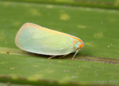 Ormenaria rufifascia (Flatidae).  Archbold Biological Station, Florida, USA