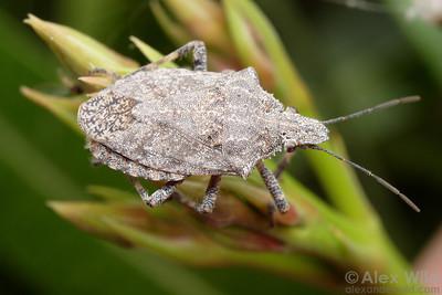 Brochymena sp. stink bug (Pentatomidae)  Tucson, Arizona, USA