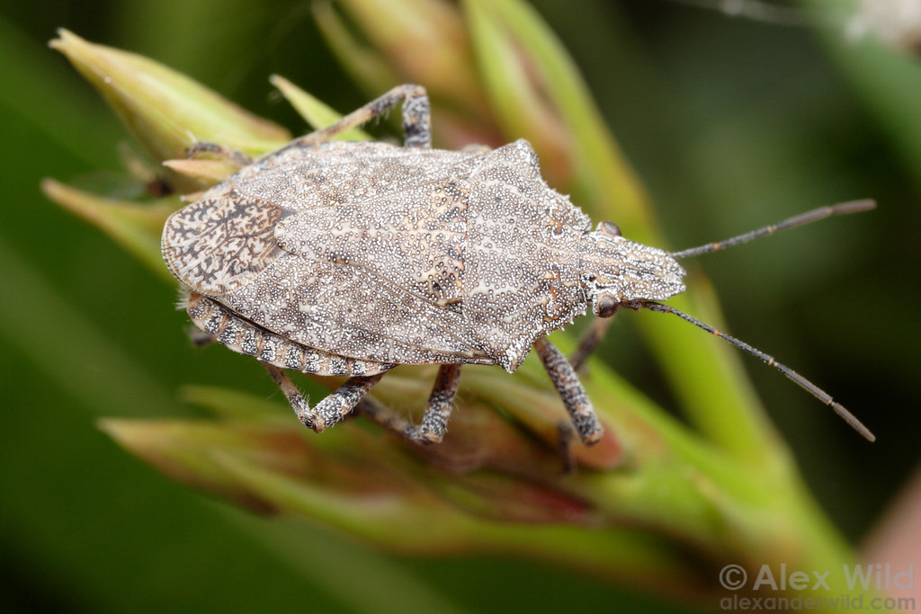 Brochymena sp. stink bug (Pentatomidae)  Tucson, Arizona, USA