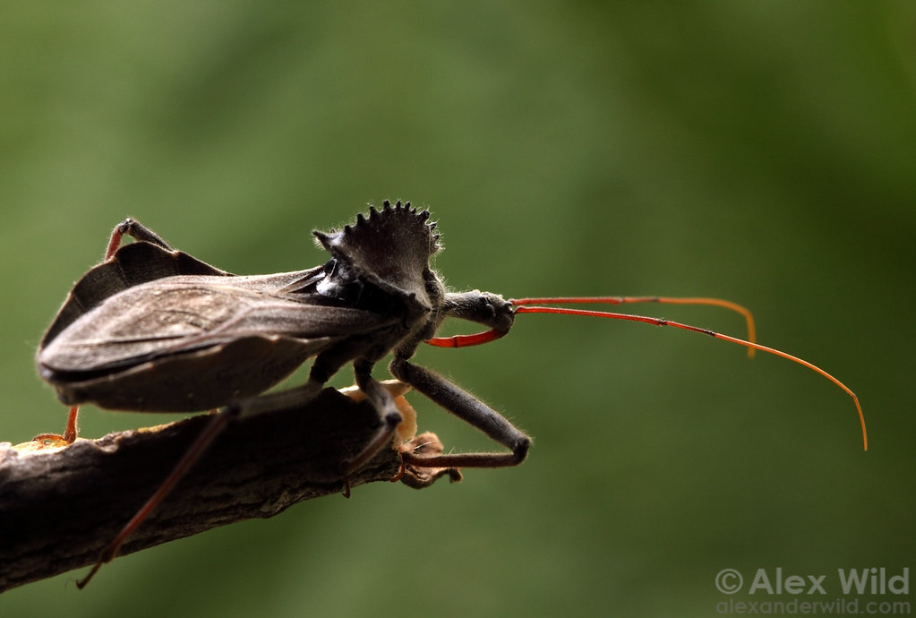 Arilus cristatus, the wheel bug, is a predatory insect common in the eastern United States.  Urbana, Illinois, USA