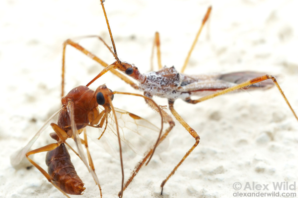 Assassin bugs are sit-and-wait predators.  This Zelus tetracanthus arrived at a blacklight insect trap and intercepted incoming prey, in this case a male trap-jaw ant.  Arizona, USA.  filename: Zelus1