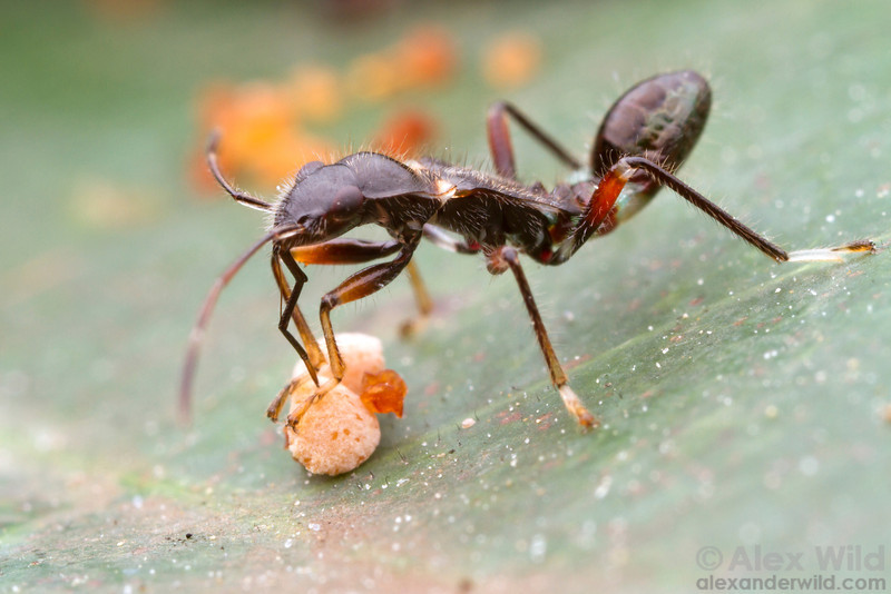 An ant-mimicking bug tastes a seed in an Australian rainforest. Note how light patches on the bug's body give the false impression of a narrow ant waist and neck.  Cape Tribulation, Queensland, Australia