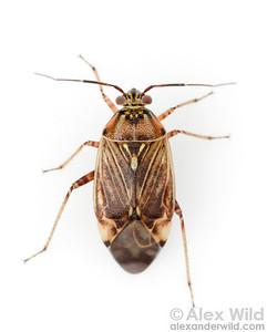 Portrait of a Lygus sp. tarnished plant bug (Miridae).  Urbana, Illinois, USA