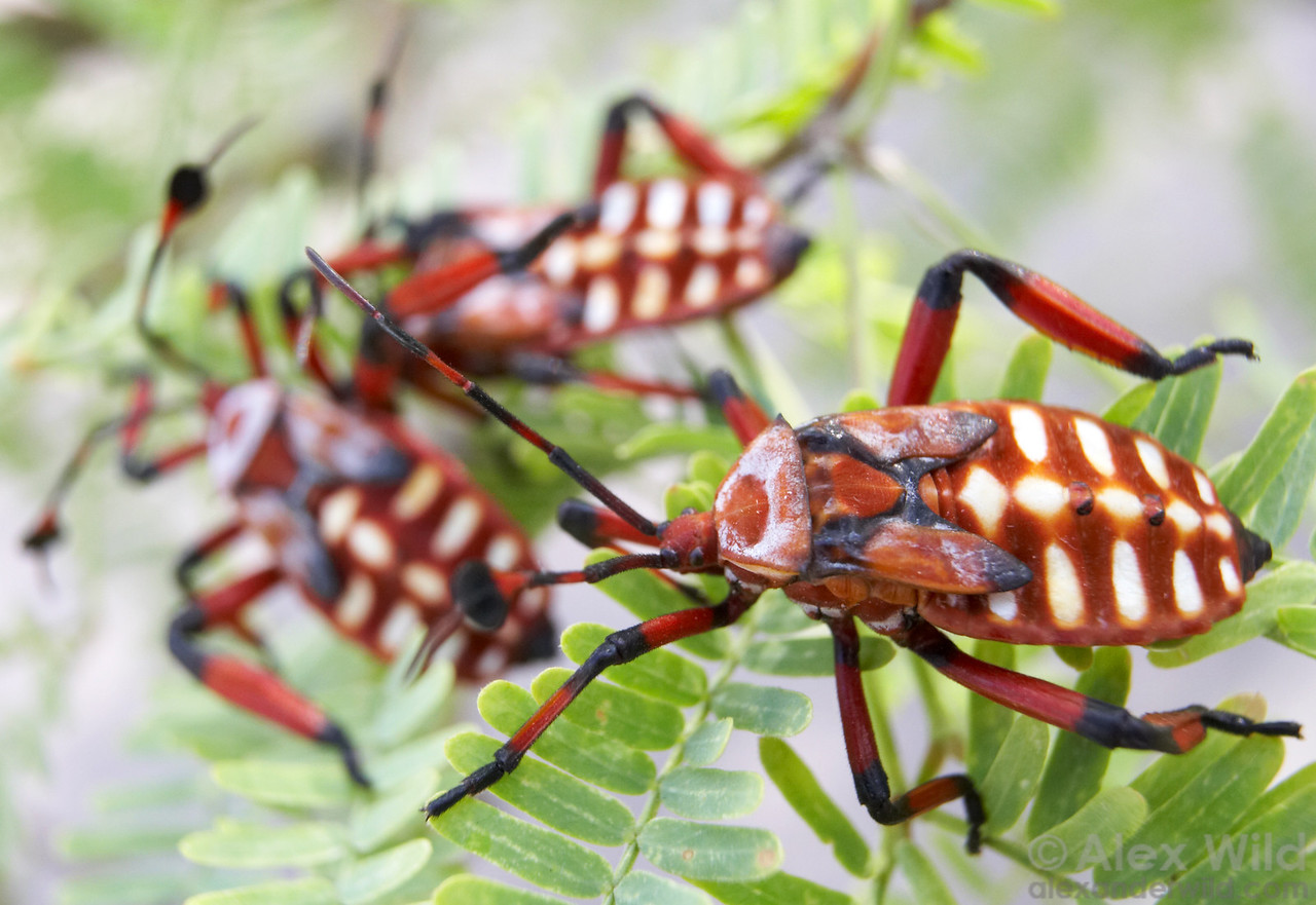 Nymphs of the Giant Mesquite Bug (Thasus neocalifornicus) typically cluster in groups.  Clustering likely amplifies the intensity of the bright visual signal warning predators of their powerful defensive chemistry.  Arizona, USA.  filename: thasus12