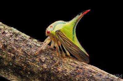 Umbonia thorn bug (Hempitera: Cicadellidae: Membracinae).  Ibagué, Tolima, Colombia