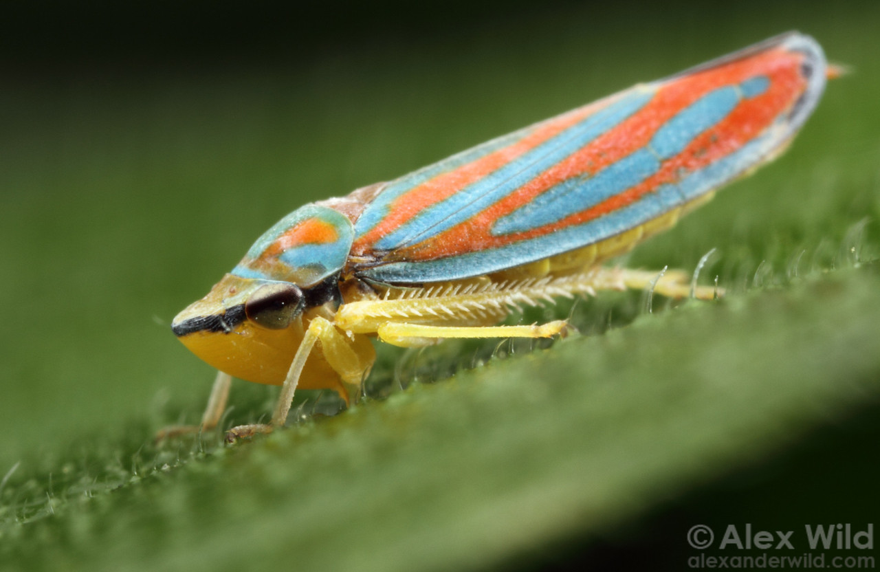 Graphocephala coccinea, the candy-striped leafhopper (Cicadellidae). This insect has sunk its beak-like mouthparts into a plant vein to suck up the juices.  Urbana, Illinois, USA