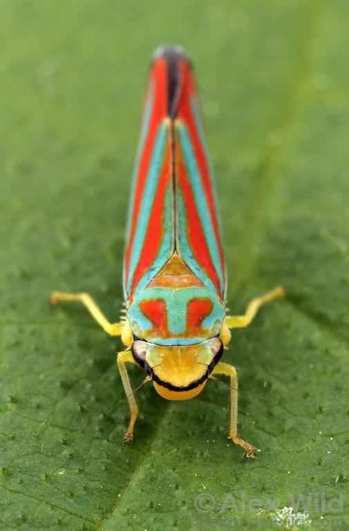 Graphocephala coccinea, the candy-striped leafhopper (Cicadellidae).   Urbana, Illinois, USA