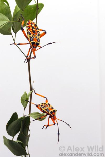 Thasus acutangulus, nymphs.  Mexico
