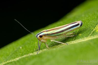 Beirneola sp.