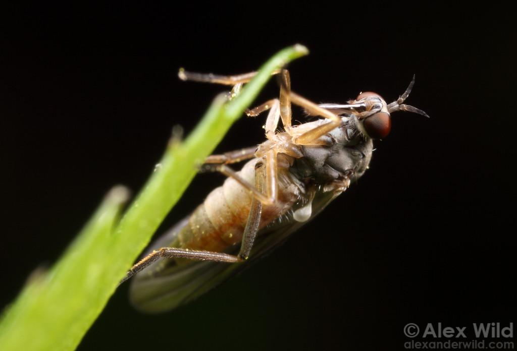 Dagger fly (Empididae).  Danville, Illinois, USA