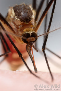 An Aedes triseriatus eastern treehole mosquito takes a blood meal.  Illinois.  filename: triseriatus14