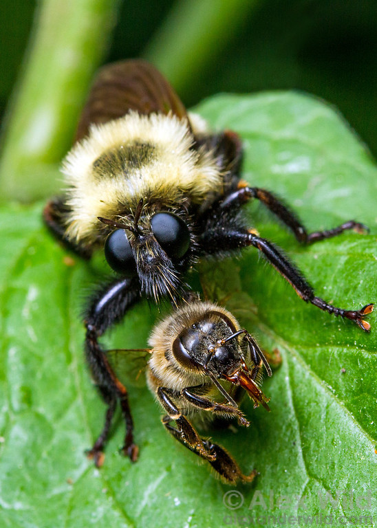 Laphria robber flies are convincing mimics of bumble bees. Unlike bees, robber flies are predators. This one has killed a honey bee.