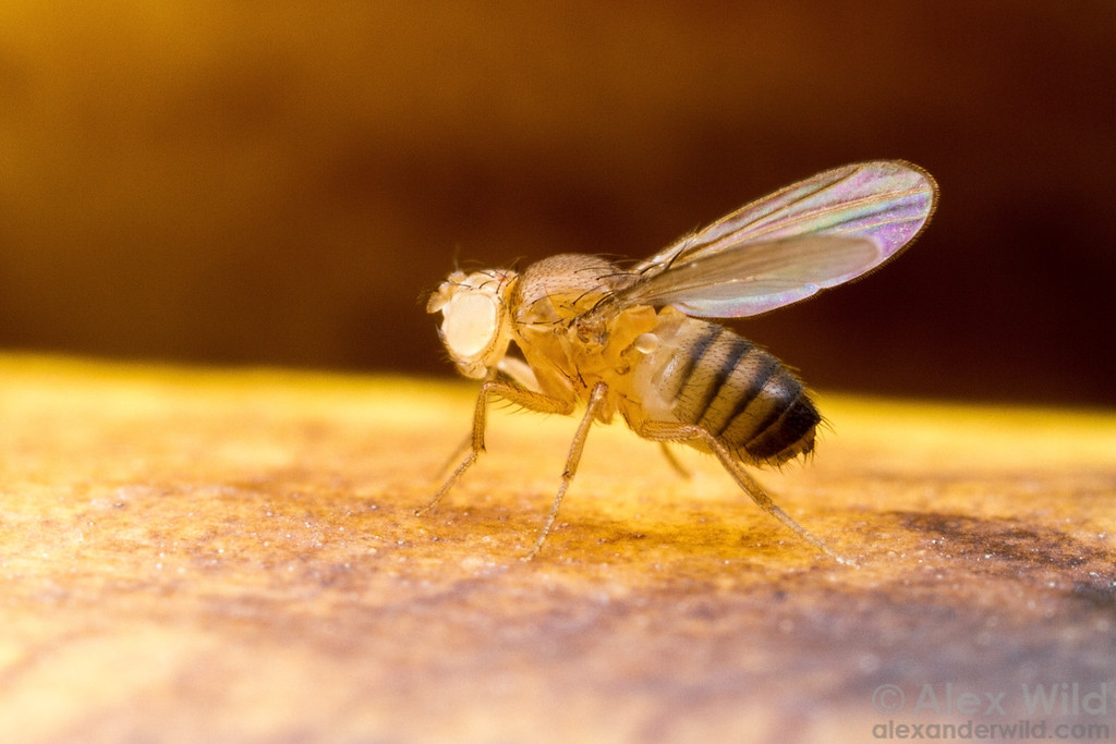 Drosophila melanogaster, a white eyed mutant fruit fly used for genetics research.  Laboratory stock at the University of California, San Diego