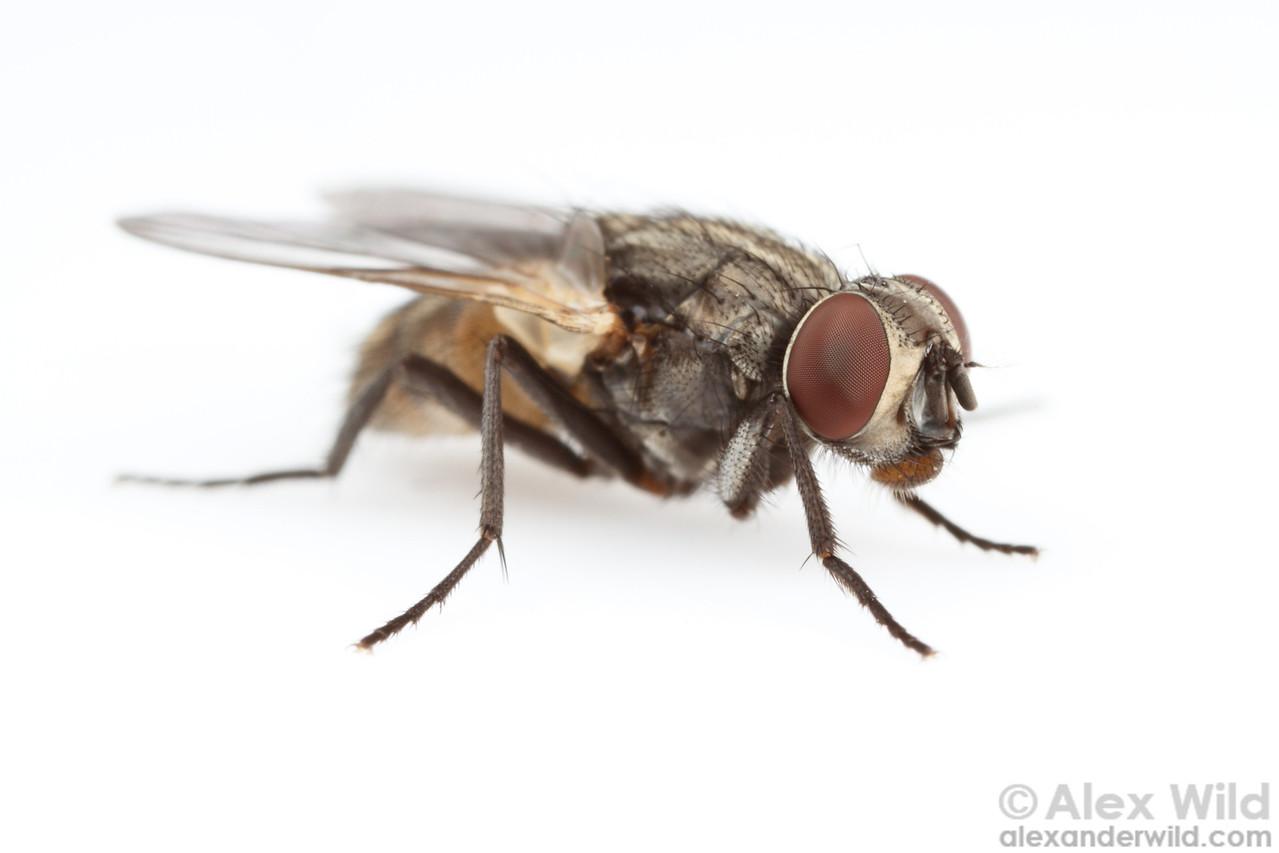Musca domestica - the common house fly  Urbana, Illinois, USA