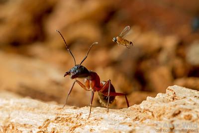 Apocephalus sp. (Phoridae)