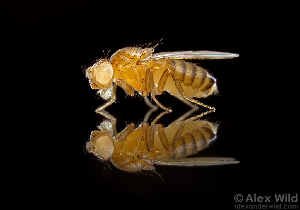White was the first sex-linked gene discovered in the fruit fly Drosophila melanogaster. The mutated version interrupts the pigment-forming pathway and results in pale, rather than red, eyes. 