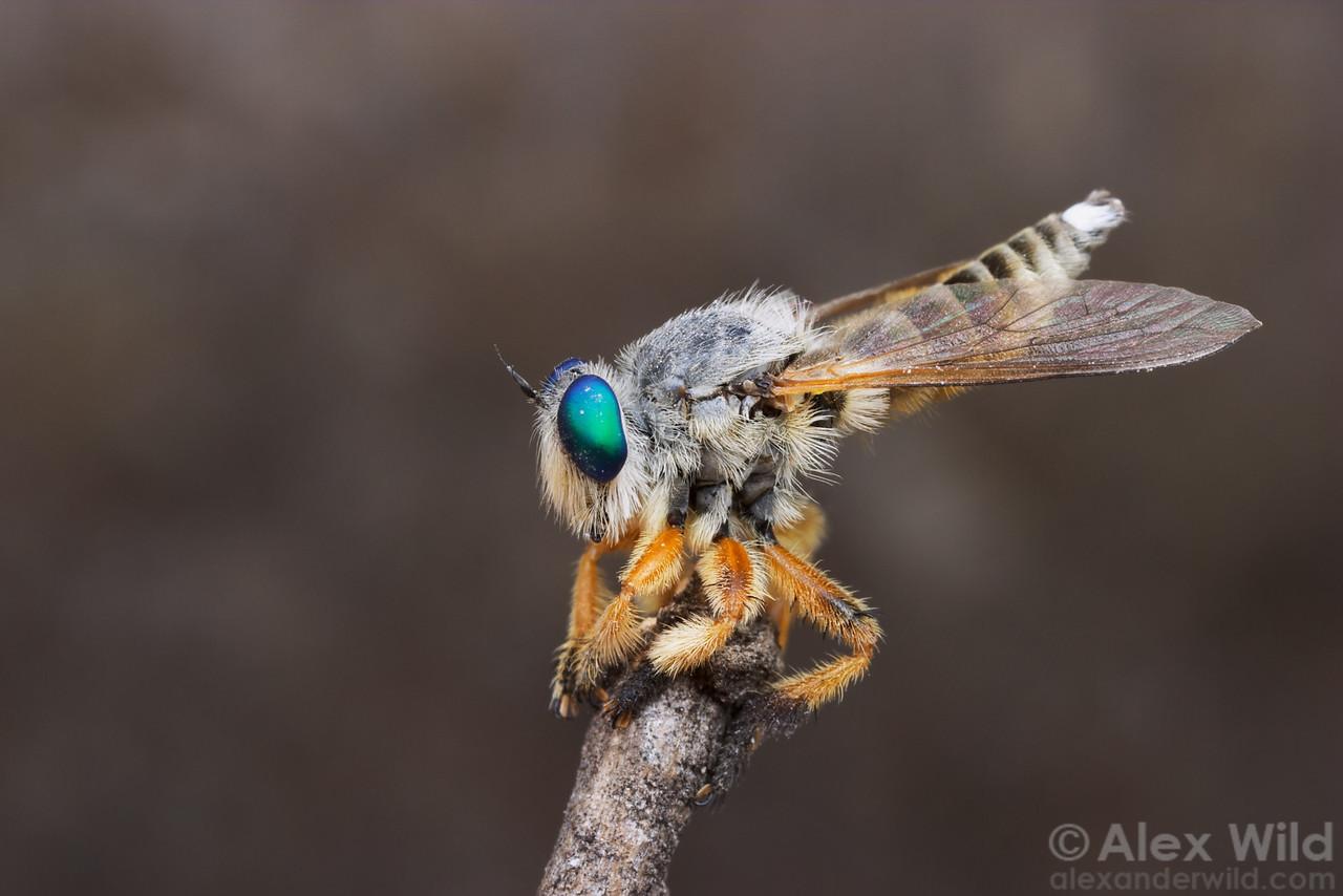 Mallophorina sp. robber fly.   Chiricahua Mountains, Arizona, USA