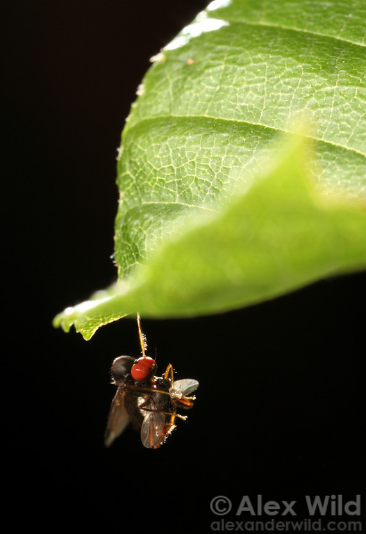A dagger fly (Empididae) hangs from a leaf with a small insect it has caught.