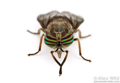 Tabanus (= Hybomitra) horse fly.  California.  filename: Tabanus1