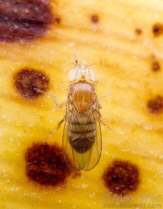 Drosophila melanogaster, a white eyed mutant fruit fly used for genetics research.  Laboratory stock at the University of California, San Diego
