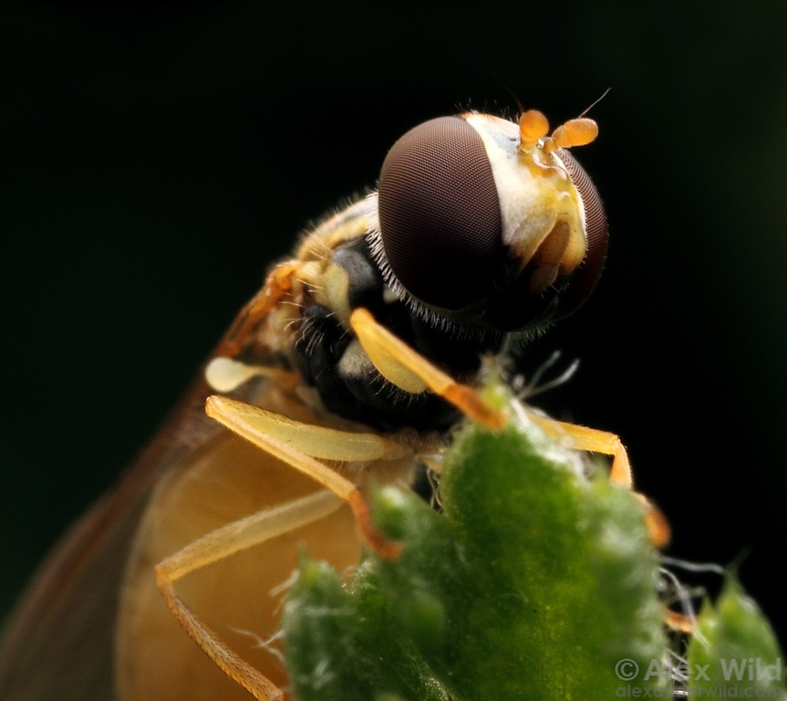 Portrait of a hover fly (Syrphidae).