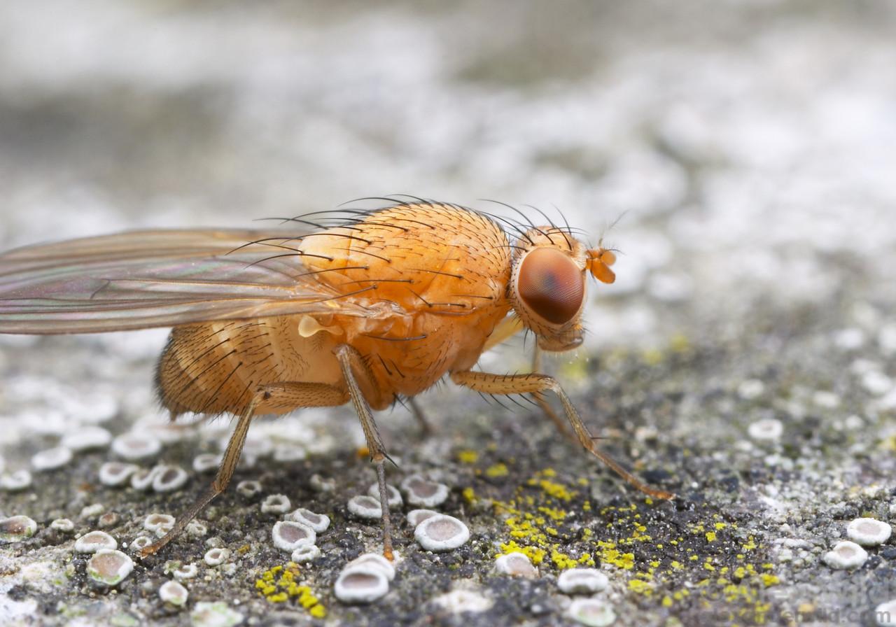 Minettia flaveola  (Lauxaniidae).  California.  filename: Lauxaniid1