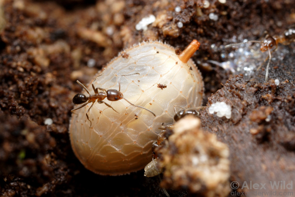 Larvae of syrphid flies in the genus Microdon are so odd that they were originally described as molluscs.  The adults are more or less normal-looking flies, but larvae are predators of ant brood, living within the dark galleries of ant nests (in this case, with Linepithema oblongum).