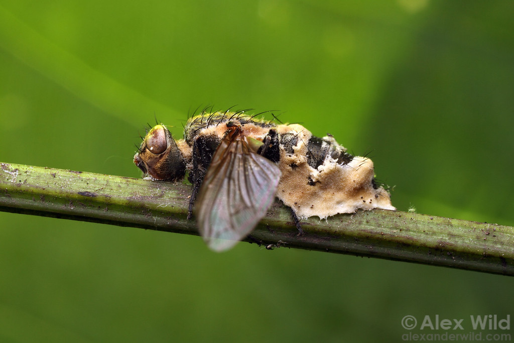 Among the worst enemies of insects are fungi. This tachinid fly has been killed and consumed by an entomopathogenic fungus.  Monticello, Illinois, USA