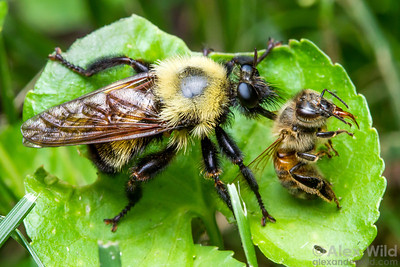 Laphria robber flies are convincing mimics of bumble bees. Unlike bees, robber flies are predators. This one has killed a honey bee.  Urbana, Illinois, USA