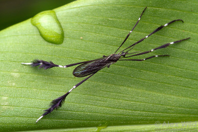 In a coastal rainforest, a tropical crane fly (Tipulidae) rests on a leaf.   Morretes, Paraná, Brazil