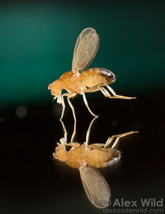 A male fruit fly, Drosophila melanogaster, bearing the white mutation.  Laboratory stock at the University of California, San Diego