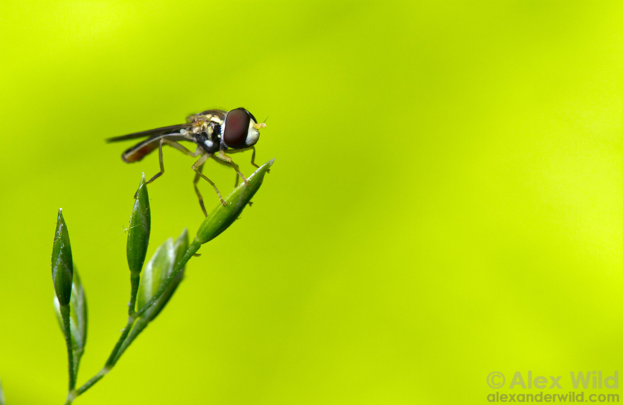 A hover fly sits on its perch.  Urbana, Illinois, USA