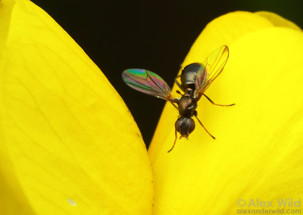 Ulidiidae