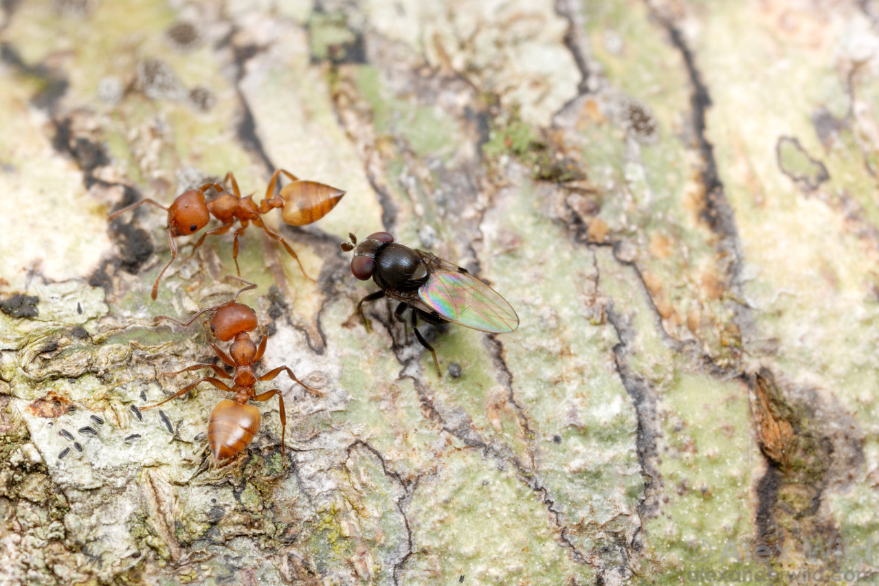 An ant-mugging fly (Milichia patrizii) chases down Crematogaster ants on a South African tree branch.  If the fly can catch an ant, she will force the ant to feed her.  filename: milichiid4