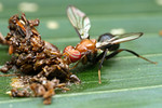 Platystomatidae