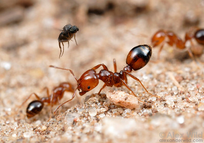 An Ant-Decapitating Fly (Phoridae, Pseudacteon sp.) attempts to separate a fire ant (Solenopsis macdonaghi) from her nestmates. Lone ants make easier targets.    Parque Nacional El Palmar, Argentina