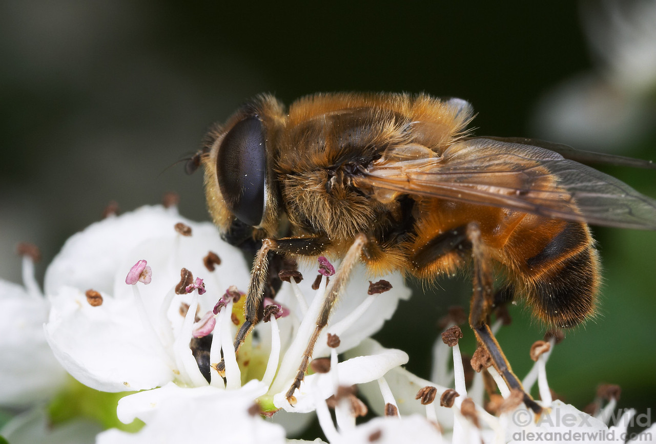 Flies are among the most important pollinators.  Here, an Eristalis drone fly (Syrphidae) visits a Prunus flower. California.